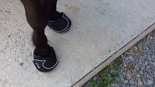 """""""CAVALLO HOOF BOOTS AND CANKER"""" Pepsi,28, the SHETLAND PONY (SEE VIDEO 376)   🐴 373"""