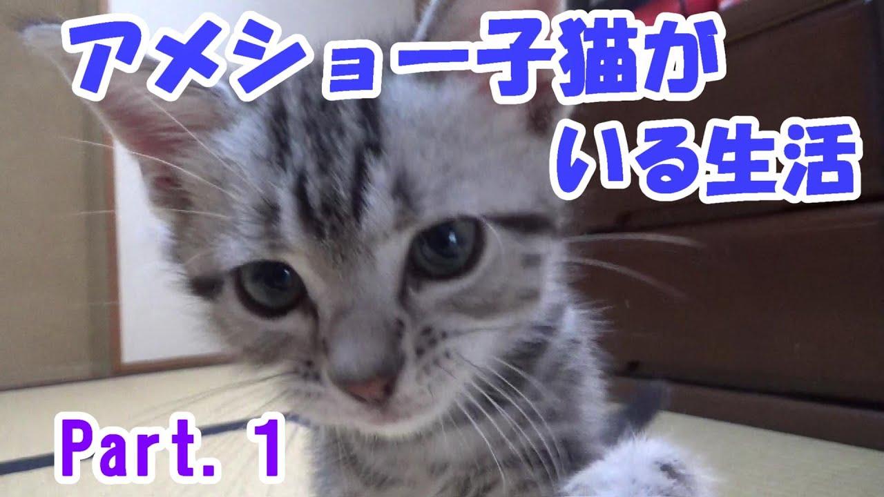 アメリカンショートヘアの子猫がいる生活 Part1  (Life with a cat.American shorthair.)
