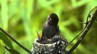 Hummingbird Feeding Chicks for 20 days.mp4