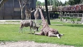 Shocking! Kudu attacks Giraffe at Blijdorp Zoo Rotterdam!