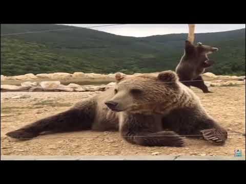 Bear Stripper Meme!!
