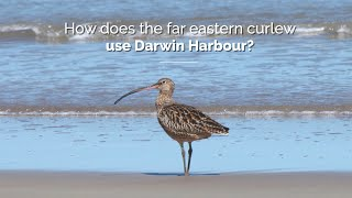 How does the far eastern curlew use Darwin Harbour?