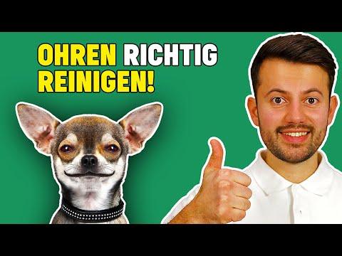 Ohrenreinigung beim Hund: richtiges Ohren putzen beim Hund!