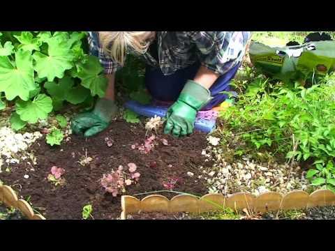 Purpurglöckchen umpflanzen