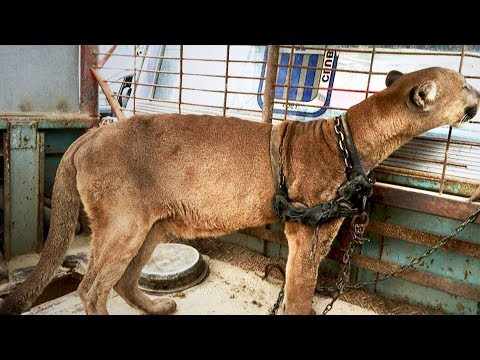 Puma lebte für Zirkusbesucher 20 Jahre in Ketten - nach seiner Rettung das traurige Schicksal!