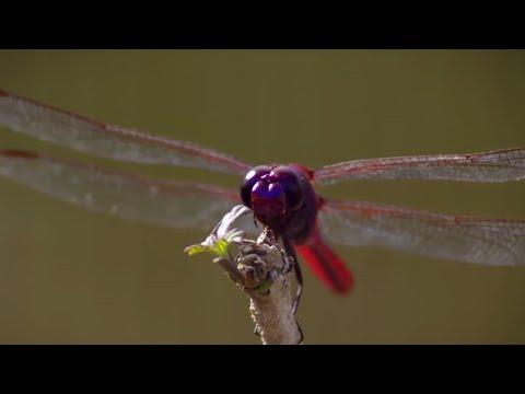 How Do Dragonflies See The World?   Animal Super Senses   BBC