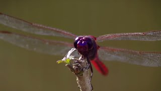How Do Dragonflies See The World? | Animal Super Senses | BBC