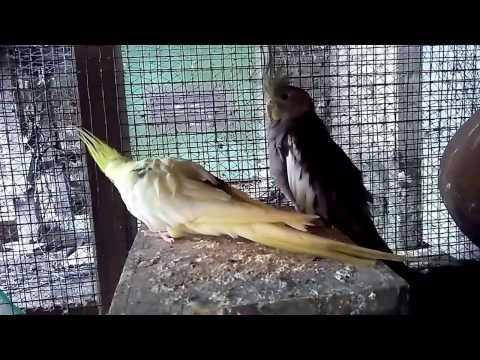 Video Cara Ternak Parkit Australi Falk Cockatiel