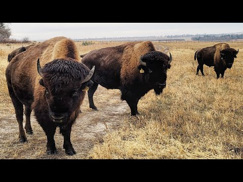 , title : 'Buffalo Ranch