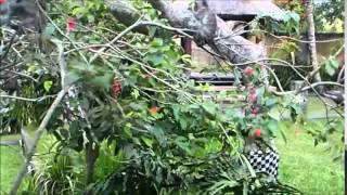 2015-07-22 Ubud, Monkeys in the garden