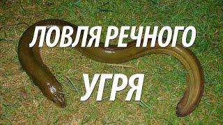 Где водится угорь в московской области