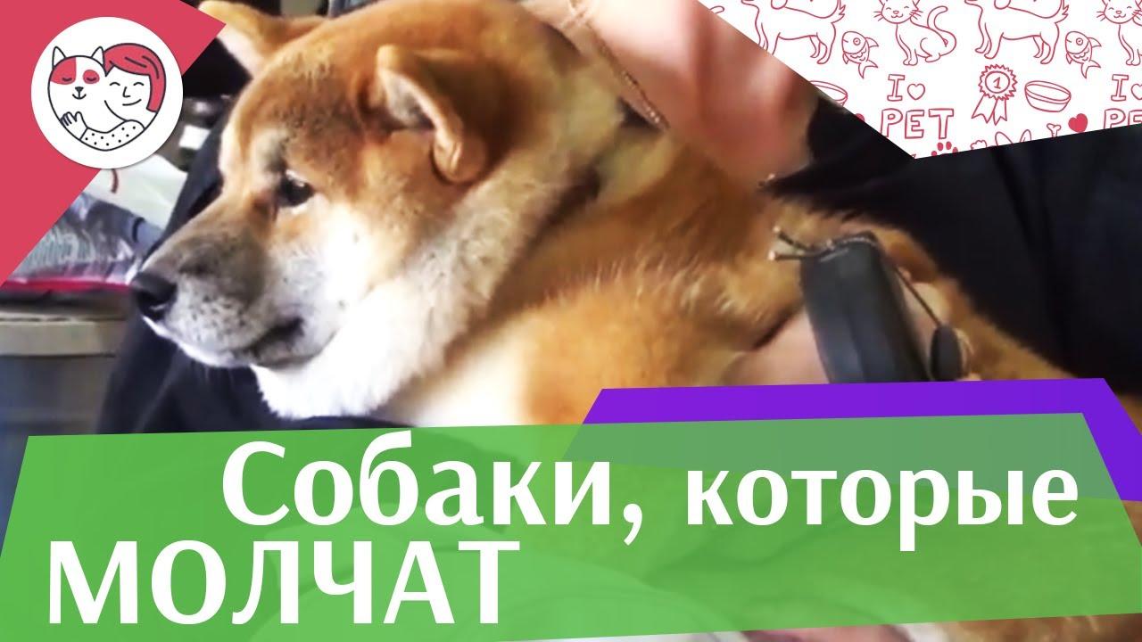 5 самых молчаливых пород собак на ilikepet