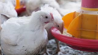 Miért ajánlatos hazai csirkét fogyasztani?