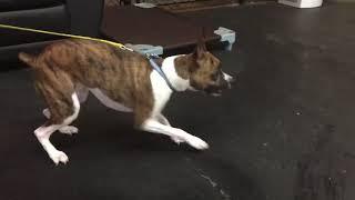 Dog Reactive Dog | Dog Training with Tyson