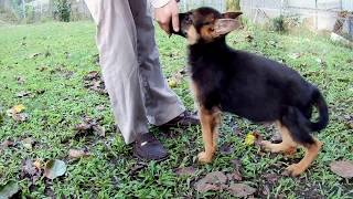 how to training a gsd puppy,first food driver times