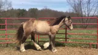 Magnus, 1 1/2yo buckskin Gypsy Vanner colt FOR SALE