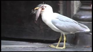 Туристы сняли на видео, как монстр-чайка убила и проглотила голубя целиком