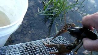 Crawfishing #3 In Washington