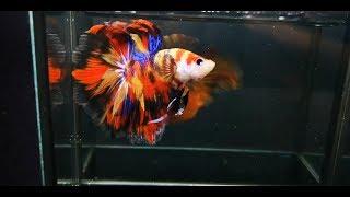TOP 10 HALFMOON NEMO CANDY EMERALD MULTICOLOR BETTA FISH