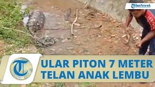 Ular Piton Panjang 7 Meter Telan Anak Lembu di Aceh Besar, BPBD Lakukan Evakuasi ke Hutan