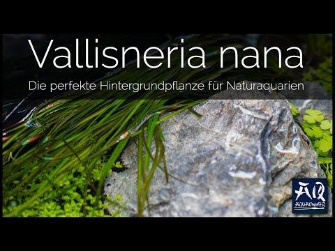 VALLISNERIA NANA | AquaOwner