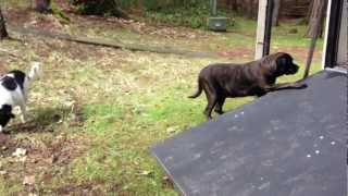 A doggie door for an English Mastiff