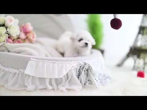 Baby Anna White Micro Bichon