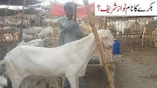 rajanpuri bakra for sale in lahore 2018 - मुफ्त