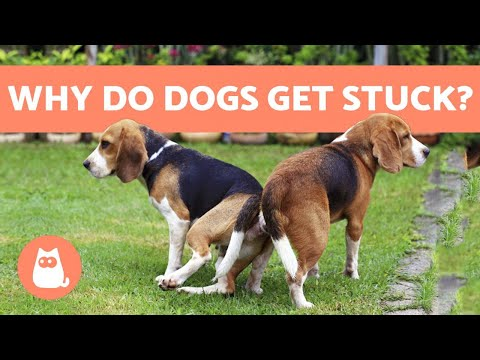 , title : 'Why Dogs Get Stuck After MATING - Breeding Explanation