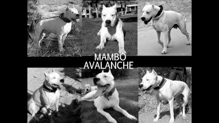DOGO ARGENTINO Giving Birth to 10 puppies - Dog Whelping - Dogo Puppies for Sale