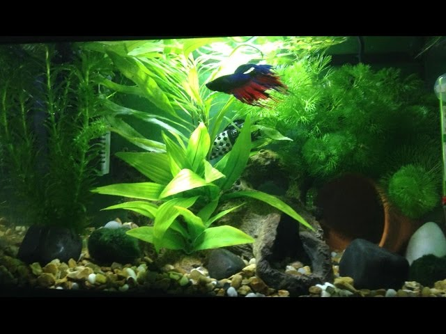5 Gallon Betta Fish Tank UPDATE! (planted) (aquarium) [CROWNTAIL BETTA]