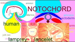 Embryology - Notochord