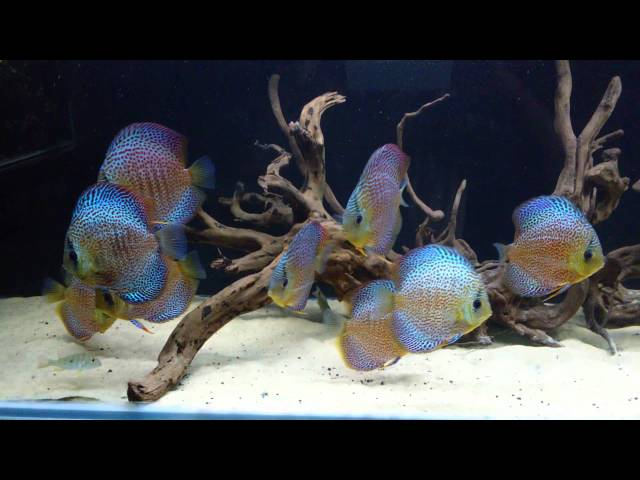 Discus Fish Display Aquarium at Aquaria
