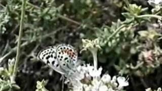 The Endangered El Segundo Blue Butterfly