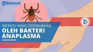 Anaplasmosis, Infeksi yang Disebabkan karena Bakteri Anaplasma Phagocytophilum