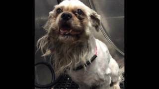 Grooming A Scared, Aggressive Matted Dog