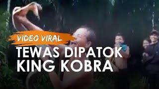 Video Viral Pria Toho Tewas seusai Dipatok saat Bermain Ular King Kobra