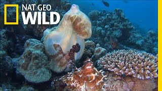 """Octopuses Mate With a Special """"Sex Arm"""" 