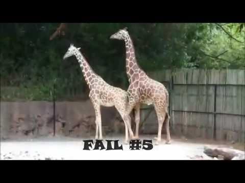 Animal Sex Videos Giraffe Sex