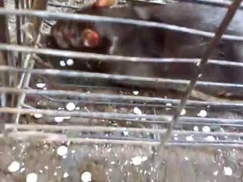 Mga Laruang asong teryer ay hindi maaaring kumain ay worm