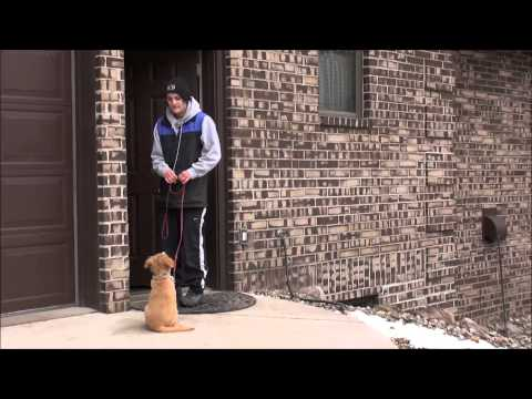 Derby (Nova Scotia Duck Tolling Retriever) Puppy Camp Training Video