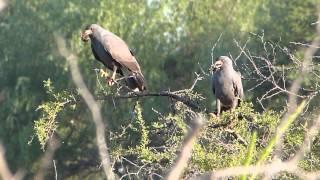 preview picture of video 'Caracoleros (Rostrhamus sociabilis) en sobre árboles en el complejo El Lago, Chajarí'