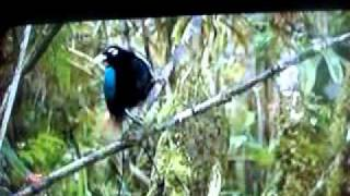 Blue Bird of Paradise - Mating Dance