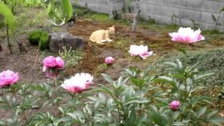 6月の庭で猫と芍薬の花Mycat