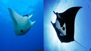 Reef Manta Ray & Giant Manta Ray - The Differences