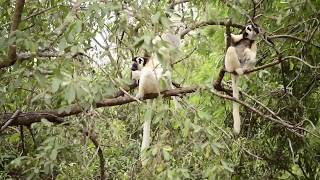 preview picture of video 'Verreaux's sifaka lemur jumping, eating and dancing in Berenty Reserve Madagascar'