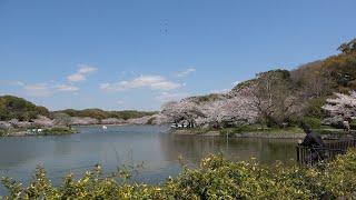 明石公園 桜