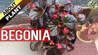 BEGONIA PLANT CARE, How to Grow and Propagate Begonia Cuttings - Garden Tips in English