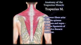 Anatomy Of The Trapezius Muscle - Everything You Need To Know - Dr. Nabil Ebraheim