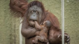 Proud Mum Shows Off Baby Orangutan: ZooBorns